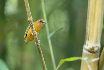 White-browed Piculet (Sasia ochracea)