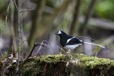 White-crowned Forktail (Enicurus leschenaulti).