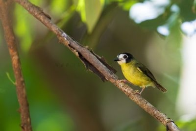 White-faced Robin (Tregellasia leucops albigularis)
