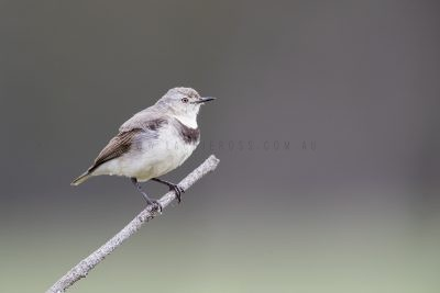 White-fronted Chat - Female (Epthianura albifrons)