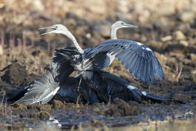 White-necked Heron - Fight (Ardea pacifica).1