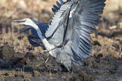 White-necked Heron - Fight (Ardea pacifica).3