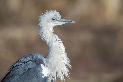 White-necked Heron - Profile (Ardea pacifica)