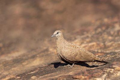 White-quilled Rock-Pigeon (Petrophassa albipennis albipennis)2