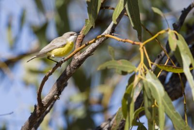 White-throated Gerygone - Buntine Highway, NT