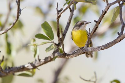 White-throated Gerygone - Buntine Highway, NT1