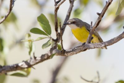 White-throated Gerygone. - Buntine Highway, NT
