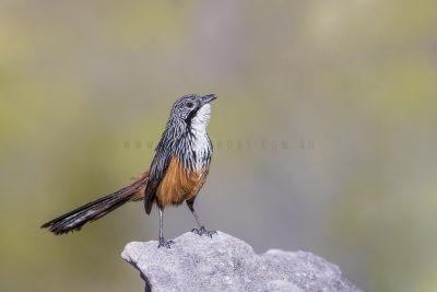 White-throated Grasswren - Male (Amytornis Woodwardi)13