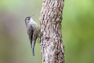 White-throated (Little) Treecreeper