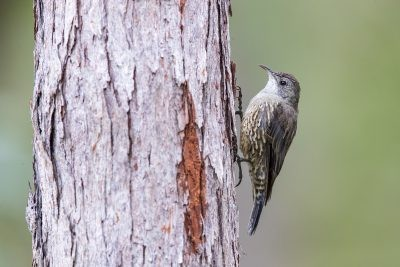 White-throated (Little) Treecreeper.