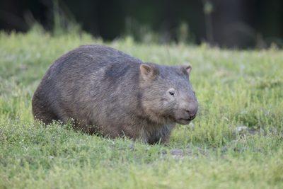 Wombat - Capertee Valley, NSW