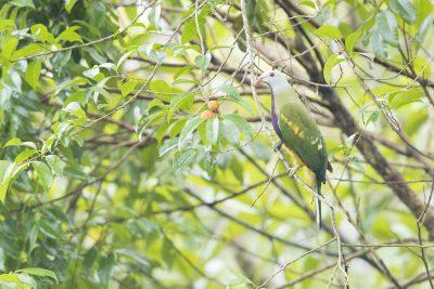 Wompoo Fruit-dove (Ptilinopus magnificus keri