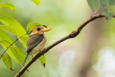 Yellow-billed Kingfisher - Female (Syma torotoro flavirostris).1