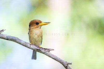 Yellow-billed Kingfisher - Male
