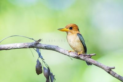 Yellow-billed Kingfisher - Male.1