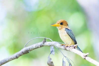 Yellow-billed Kingfisher - Male.2
