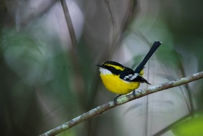 Yellow-breasted Boatbill.