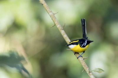 Yellow-breasted Boatbill - Male (Machaerirhynchus flaviventer)1