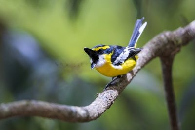 Yellow-breasted Boatbill - Male Yawning