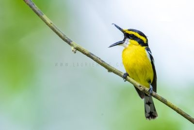 Yellow-breasted Boatbill - Yawning
