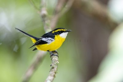 Yellow-breasted Boatbill.1