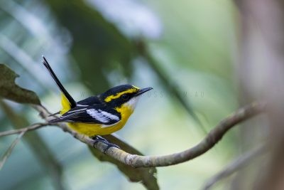 Yellow-breasted Boatbill.3