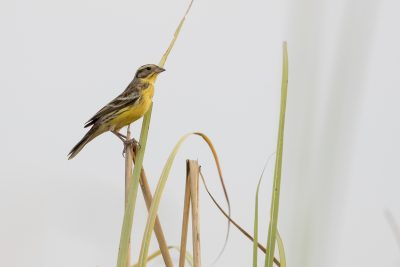 Yellow-breasted Bunting (Emberiza aureola)
