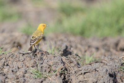 Yellow Chat (Alligator Rivers - Epthianura crocea tunneyi) - Darwin,NT