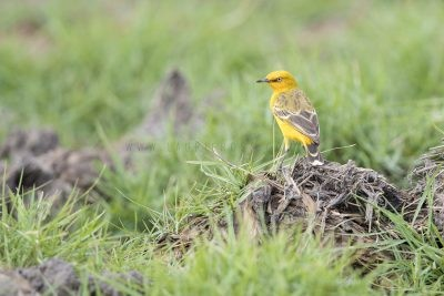 Yellow Chat (Alligator Rivers - Epthianura crocea tunneyi) - Darwin,NT3