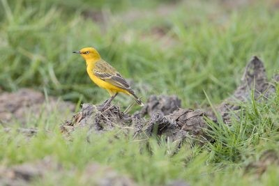 Yellow Chat (Alligator Rivers - Epthianura crocea tunneyi) - Darwin,NT4