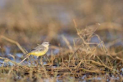 Yellow Chat - Female