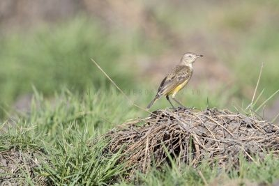 Yellow Chat - Female (Alligator Rivers - Epthianura crocea tunneyi) - Darwin,NT