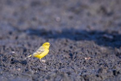 Yellow Chat - Male.1