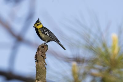 Yellow-cheeked Tit (Machlolophus spilonotus)