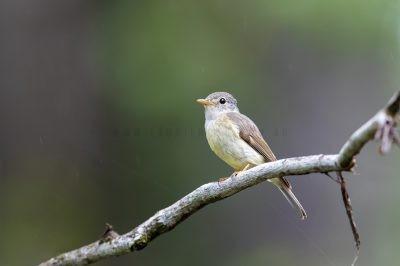 Yellow-legged Flycatcher