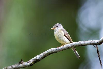 Yellow-legged Flycatcher.