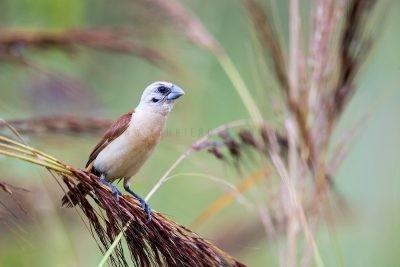 Yellow-rumped Mannikin - On Speargrass (Lonchura flaviprymna)