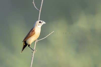 Yellow-rumped Mannikin.1