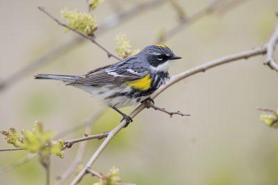 Yellow-rumped (Myrtle) Warbler (Setophaga coronata)