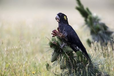 Yellow-tailed Black-cockatoo (Calyptorhynchus funereus)