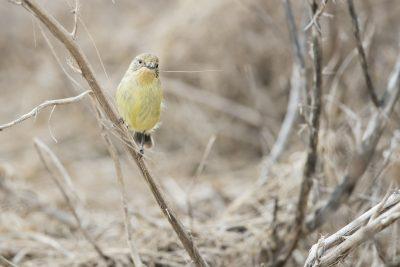 Yellow Thornbill (Acanthiza Nana Nana) - NSW