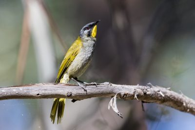 Yellow-throated Honeyeater (Nesoptilotis flavicollis)3