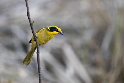 Yellow-tufted Honeyeater (Lichenostomus melanops)