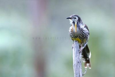 Yellow Wattlebird - Male.