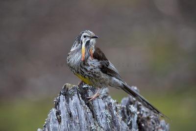 Yellow Wattlebird - Male (Anthochaera paradoxa paradoxa)
