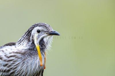 Yellow Wattlebird - Male Portrait